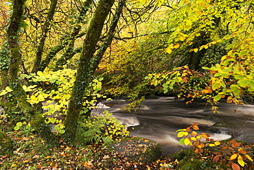 East Dart River rushing past autumnal foliage, Dartmeet, Dartmoor National Park, Devon, England, United Kingdom, Europe