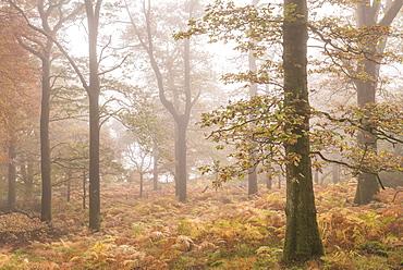 Mist shrouded autumnal deciduous woodland near Ullswater, Lake District, Cumbria, England, United Kingdom, Europe