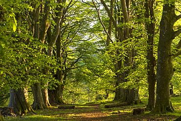 Path through an avenue of mature beech trees, Dartmoor National Park, Devon, England, United Kingdom, Europe