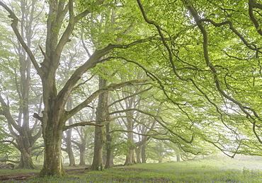 Mature beech trees in spring morning mist, Dartmoor National Park, Devon, England, United Kingdom, Europe