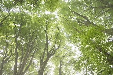 Woodland canopy in springtime, Dartmoor, Devon, England, United Kingdom, Europe