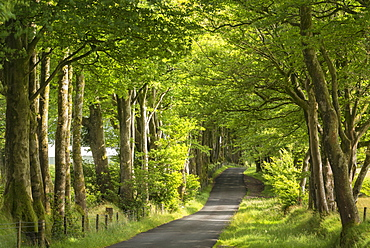 Tree lined avenue in summer sunshine, Dartmoor, Devon, England, United Kingdom, Europe