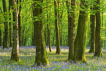 Common bluebells (Hyacinthoides non-scripta) flowering in a deciduous woodland during springtime, Exmoor National Park, Somerset, England, United Kingdom, Europe