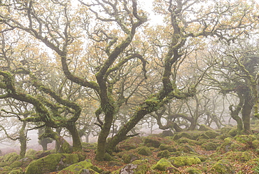Gnarled and twisted trees within Wistman's Wood, Dartmoor National Park, Devon, England, United Kingdom, Europe