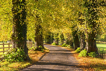 Tree lined lane with intense autumnal foliage, Brecon Beacons, Powys, Wales, United Kingdom, Europe