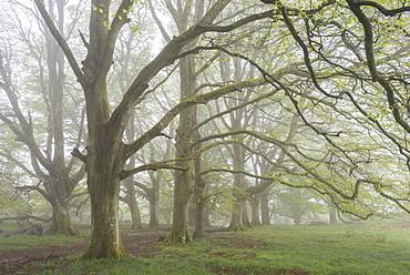 Mature Beech trees in morning fog, Whiddon Deer Park, Dartmoor, Devon, England, United Kingdom, Europe