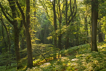 Early morning sunlight beaming into a verdant deciduous woodland, Dartmoor, Devon, England, United Kingdom, Europe