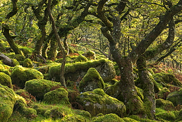 Morning sunshine lights up a moorland woodland of stunted oak trees, Black a Tor Copse, Dartmoor, Devon, England, United Kingdom, Europe