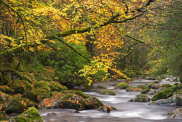 Autumnal trees overhang the River Plym in Shaugh Prior, Dartmoor, Devon, England, United Kingdom, Europe