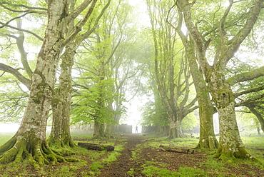 Lone figure standing in a misty deciduous woodland, Dartmoor, Devon, England, United Kingdom, Europe