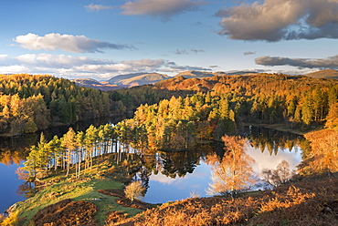 Rich evening sunshine glows on the trees at Tarn Hows in the Lake District National Park, Cumbria, England, United Kingdom, Europe