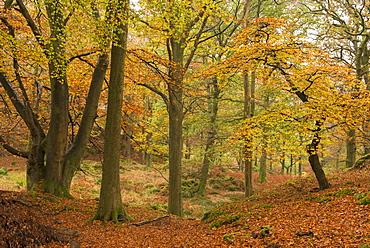 Autumnal deciduous woodland in the Lake District, Cumbria, England, United Kingdom, Europe