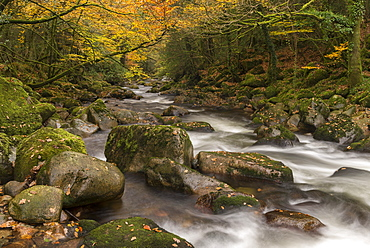 Rocky River Plym rushing beneath autumnal trees, Shaugh Prior, Dartmoor National Park, Devon, England, United Kingdom, Europe