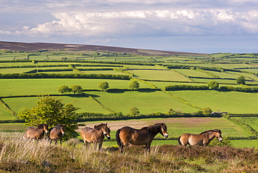 Exmoor ponies grazing on Winsford Hill in Exmoor National Park, Somerset, England, United Kingdom, Europe