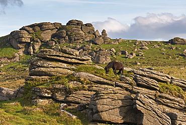 Free roaming Dartmoor pony grazing on the rugged granite outcrops near Saddle Tor, Dartmoor, Devon, England, United Kingdom, Europe