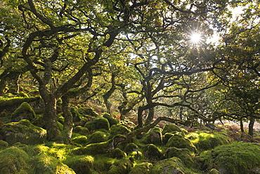Morning sun shining through Black a Tor Copse stunted oak woodland on Dartmoor moorland, Devon, England, United Kingdom, Europe