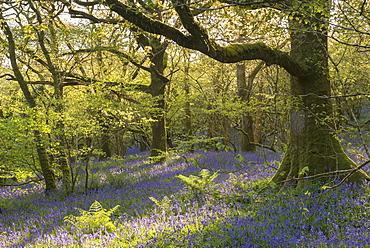 Flowering common bluebells in a sunlit broadleaf woodland in Dartmoor National Park, Devon, England, United Kingdom, Europe