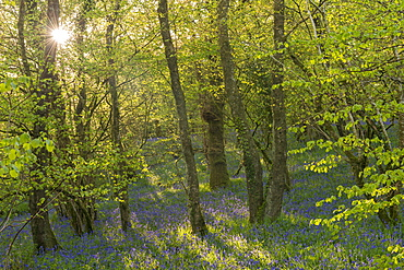 Sunshine in a broadleaf woodland carpeted with common bluebells, Dartmoor National Park, Devon, England, United Kingdom, Europe