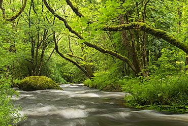 River Teign rushing beneath moss covered trees near Fingle Bridge, Dartmoor National Park, Devon, England, United Kingdom, Europe