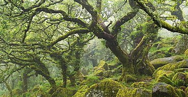 Twisted moss covered trees in the mysterious Wistmans Wood in Dartmoor National Park, Devon, England, United Kingdom, Europe