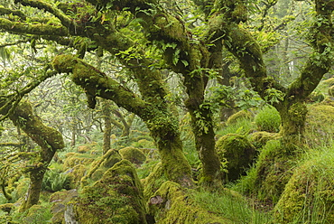 Gnarled and twisted oak trees in Wistman's Wood, Dartmoor, Devon, England, United Kingdom, Europe