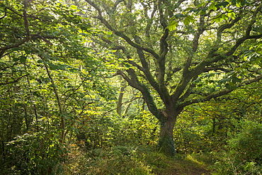 Mature oak tree in verdant deciduous woodland, St. Issey, Cornwall, England, United Kingdom, Europe
