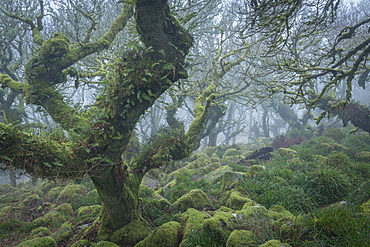 Gnarled and twisted oak trees in Wistman's Wood SSSI, Dartmoor National Park, Devon, England, United Kingdom, Europe