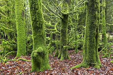 Moss covered trees in Bellever Wood, Dartmoor National Park, Devon, England, United Kingdom, Europe