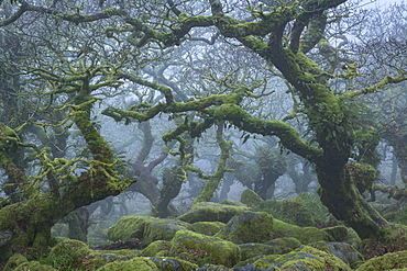 Gnarled and twisted trees in Wistman's Wood in winter on Dartmoor, Devon, England, United Kingdom, Europe
