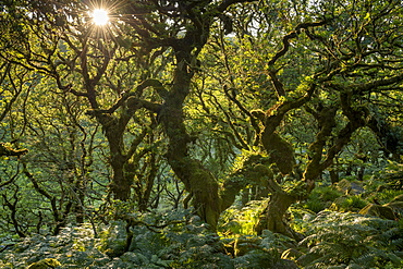 Late evening sunshine in Wistman's Wood SSSI in Dartmoor National Park, Devon, England, United Kingdom, Europe