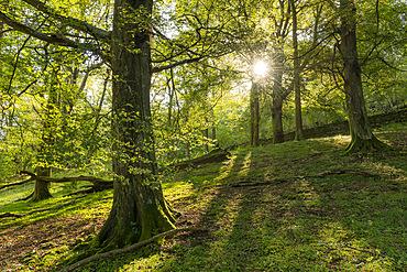 Deciduous woodland near Rydal Water, Lake District National Park, UNESCO World Heritage Site, Cumbria, England, United Kingdom, Europe