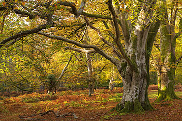 Mature broadleaf woodland at Bolderwood, New Forest National Park, Hampshire, England, United Kingdom, Europe