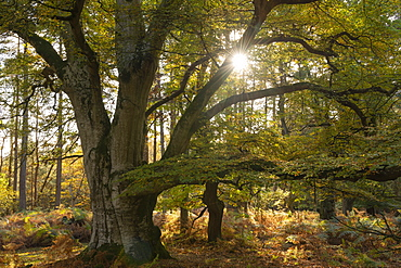 Magnificent mature pollarded beech tree in Bolderwood on a sunny autumnal afternoon, New Forest National Park, Hampshire, England, United Kingdom, Europe