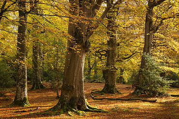 Mature beech woodland during autumn, New Forest National Park, Hampshire, England, United Kingdom, Europe