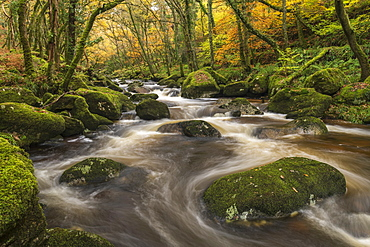 Fast flowing woodland stream in autumn, River Plym, Dartmoor National Park, Devon, England, United Kingdom, Europe