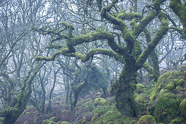 Moss covered tree in Wistman's Wood in winter, Dartmoor National Park, Devon, England, United Kingdom, Europe
