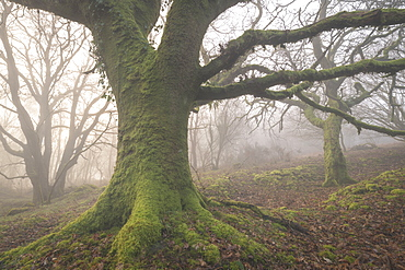 Mossy trees in a misty woodland in winter, Dartmoor, Devon, England, United Kingdom, Europe