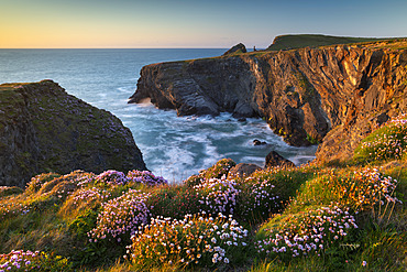 Pink thrift wildflowers on the Cornish cliffs, Padstow, Cornwall, England, United Kingdom, Europe