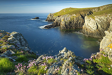 Sea pink wildflowers on the cliff tops on the rugged west coast of Anglesey, North Wales, United Kingdom, Europe