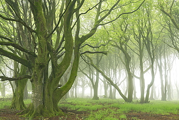 Deciduous trees with spring foliage in a foggy woodland, Cornwall, England, United Kingdom, Europe