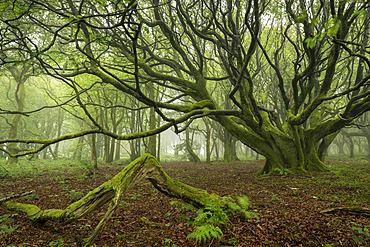 Misty deciduous woodland in spring, Cornwall, England, United Kingdom, Europe