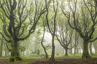 Deciduous trees on a foggy morning, North Cornwall, England, United Kingdom, Europe
