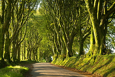 Country lane under avenue of trees, Bridestowe, Dartmoor, Devon, England, United Kingdom, Europe