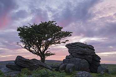 Hawthorn tree and granite tor at sunset, Dartmoor National Park, Devon, England, United Kingdom, Europe