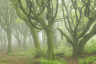 Misty conditions in a deciduous woodland in spring, Cornwall, England, United Kingdom, Europe
