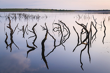 Twisted stumps from drowned trees in Colliford Lake on Bodmin Moor, Cornwall, England, United Kingdom, Europe