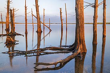 Dead trees in Colliford Lake on Bodmin Moor, Cornwall, England, United Kingdom, Europe