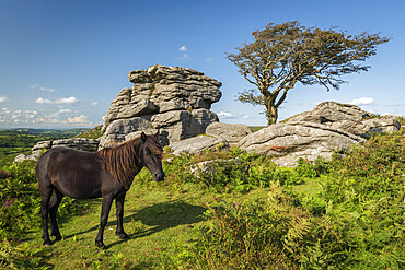 Dartmoor Pony grazing near a granite tor in Dartmoor National Park, Devon, England, United Kingdom, Europe
