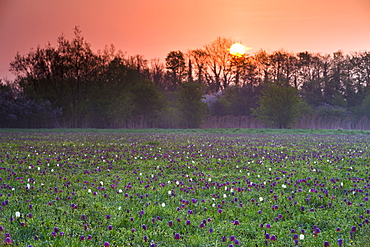 Sunrise over a meadow of snake's head fritillary (Fritillaria meleagris) wildflowers growing at North Meadow National Nature Reserve, Cricklade, Wiltshire, England, United Kingdom, Europe