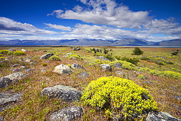 Bright summer flowers on the Patagonian Steppe near El Calafate, Patagonia, Argentina, South America